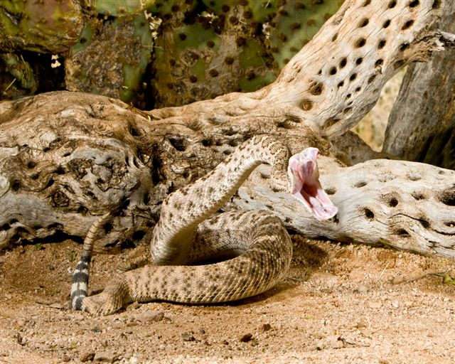 httpswww.outdoorlife.comsitesoutdoorlife.comfilesimport2014importImage2010photo300105.western-diamondback-rattle-snake-19447.jpg