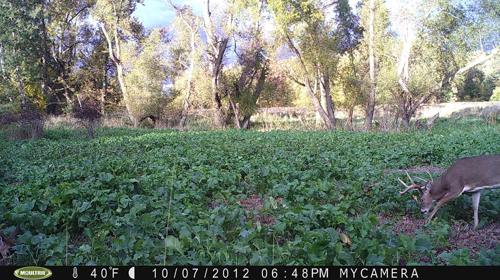 8 point buck on trail cam footage of food plot