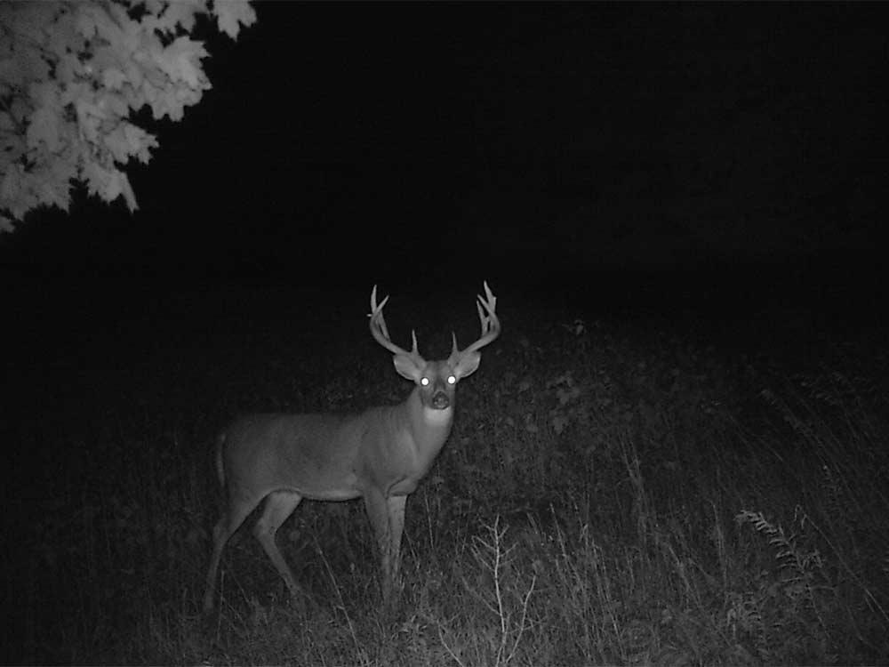 deer at night in the woods