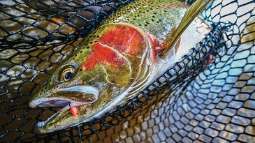 trout fishing in the net
