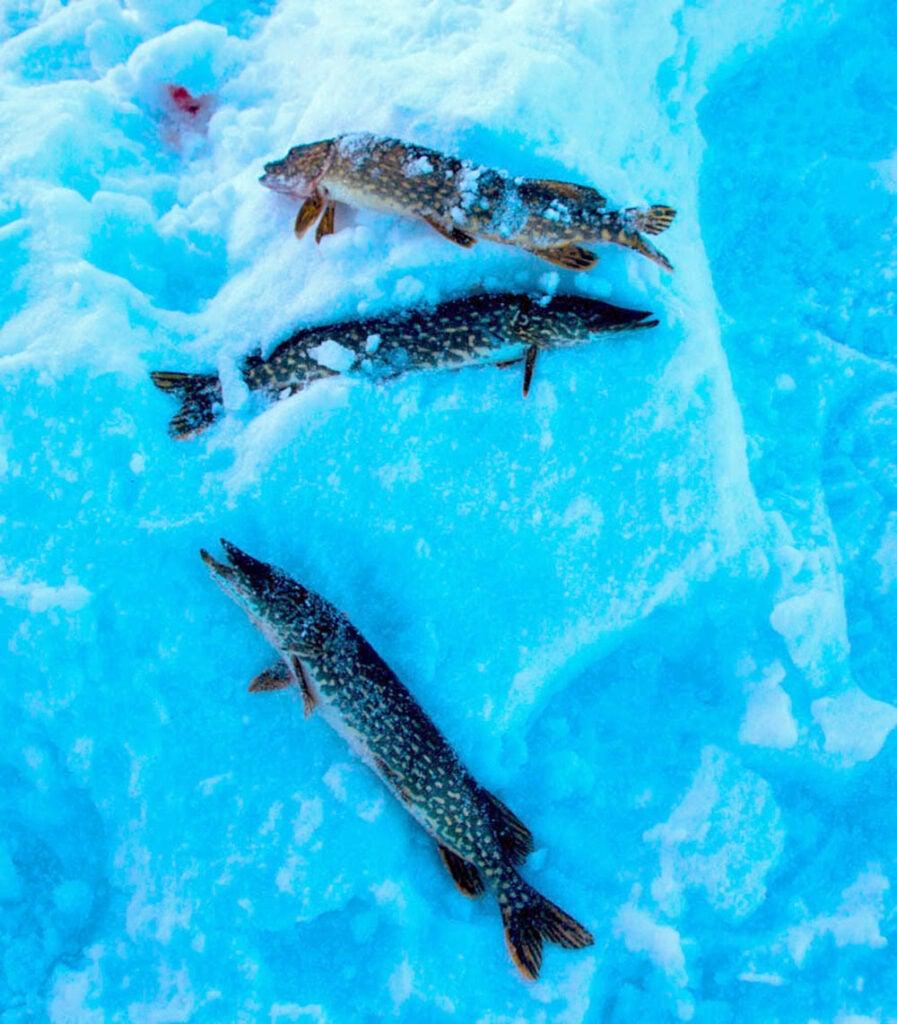 giant pike on ice