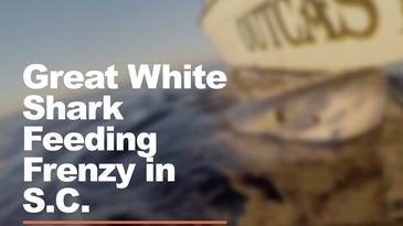 great white shark feeding frenzy in south carolina
