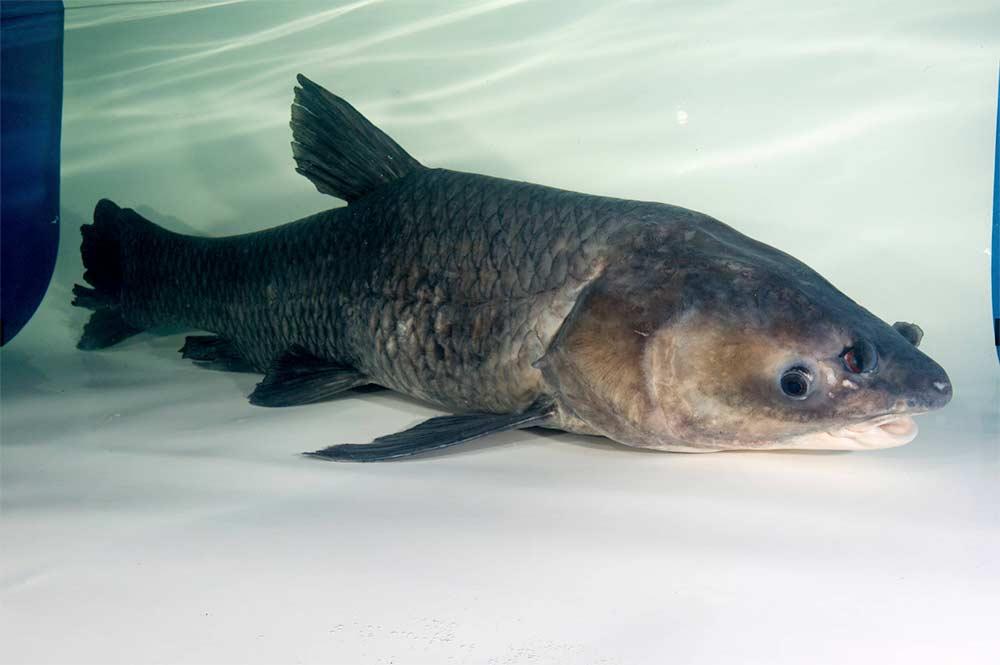 asian carp  in a tank