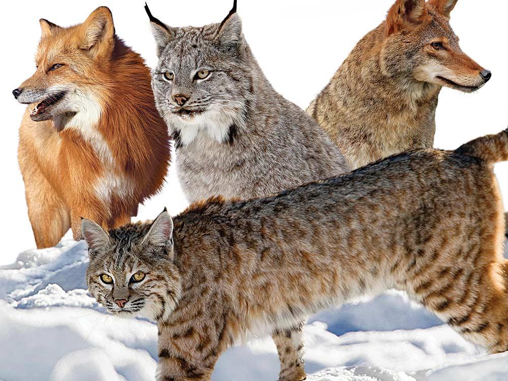predator pelt shooting