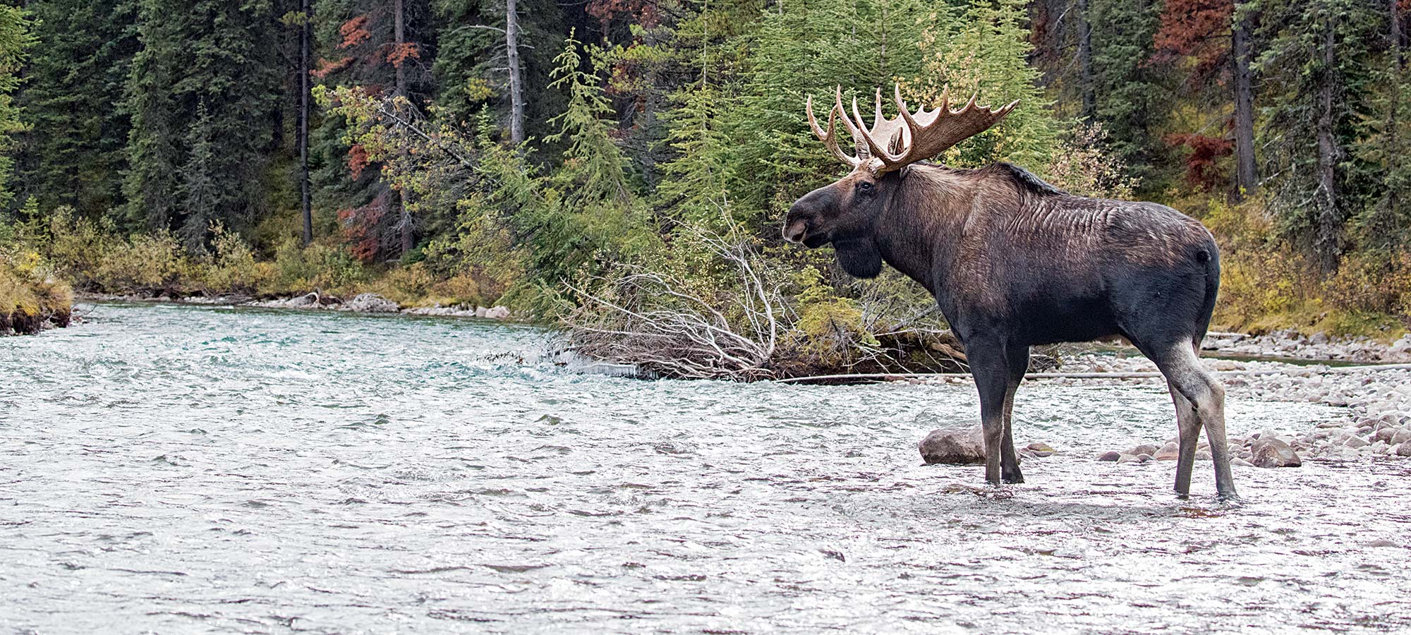 rutting bull moose river