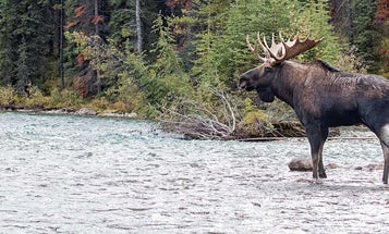 Misery and Moose Country: Hunting for Big Bulls in British Columbia
