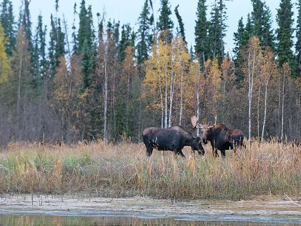 toa lake moose