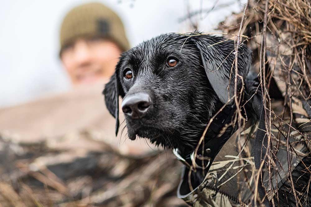 black lab on waterfowl hunting
