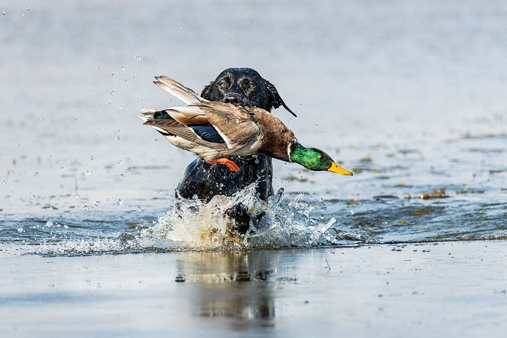 black lab retrieving greenheaded duck