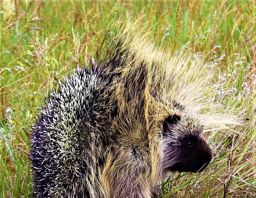 porcupine on the ground