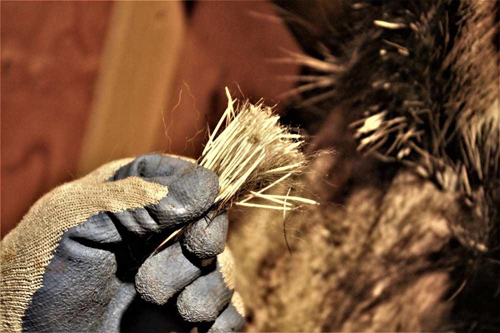 porcupine underfur