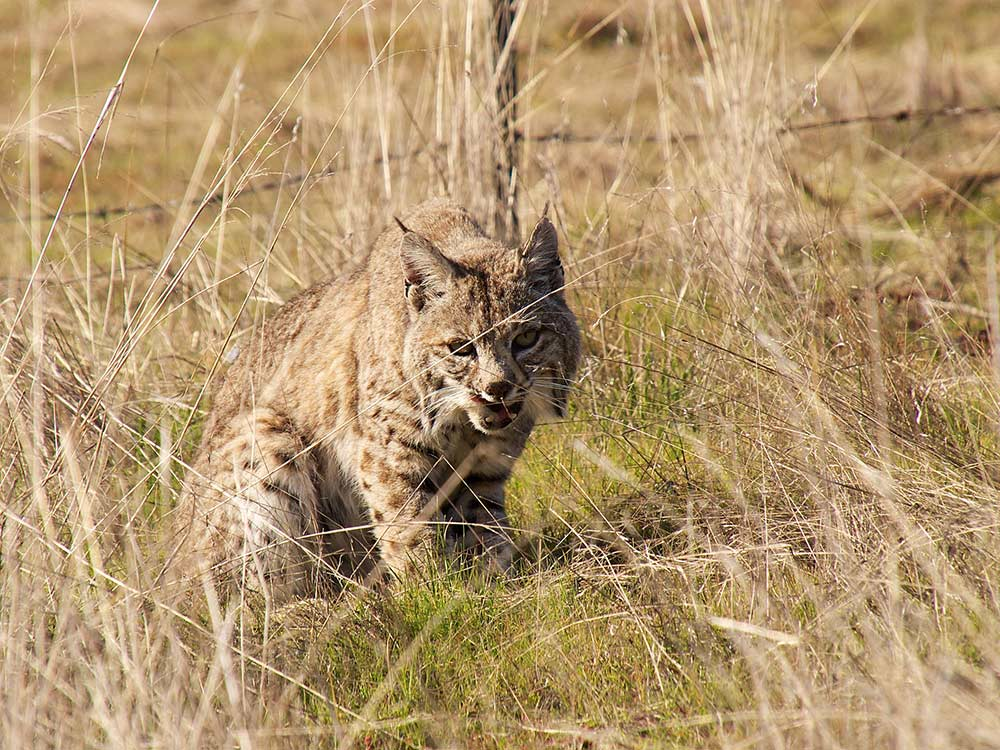 bobcat standing next to wire fence