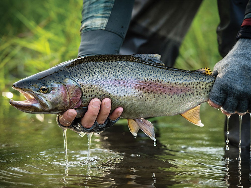 small rainbow trout on the kamchatka river