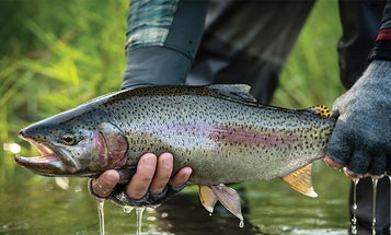Chasing Wild Rainbow Trout on Russia's Kamchatka Peninsula