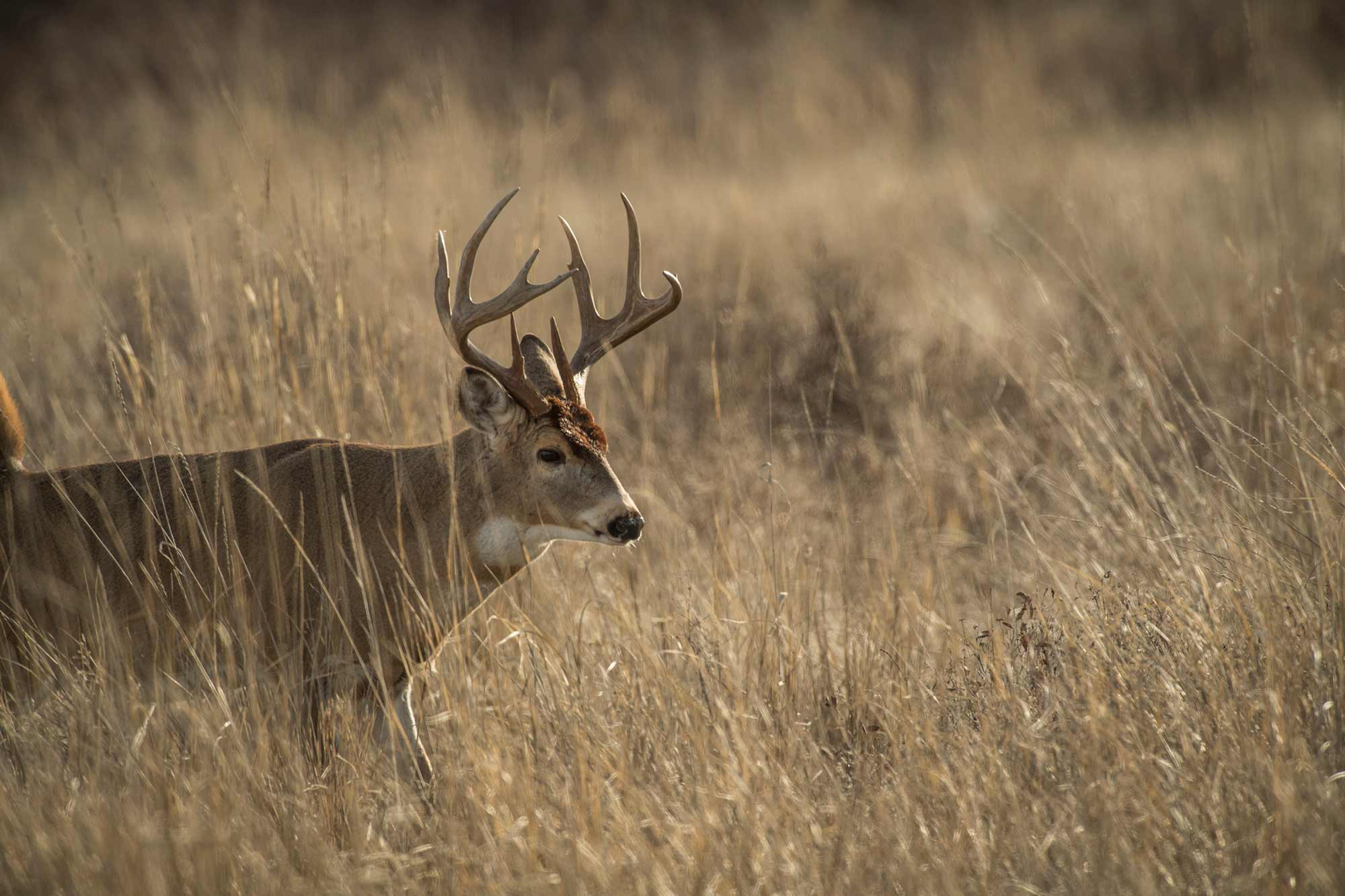 How to Study Late-Season Scrape Lines to Find Big Bucks