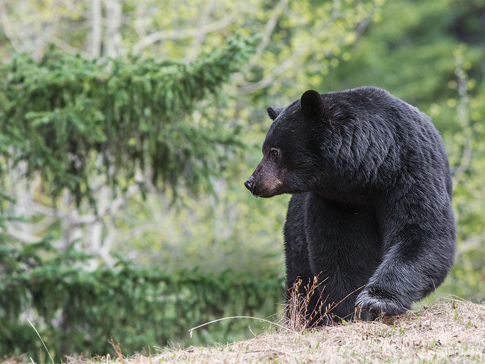 An Outfitter's Guide to Field Judging Black Bears