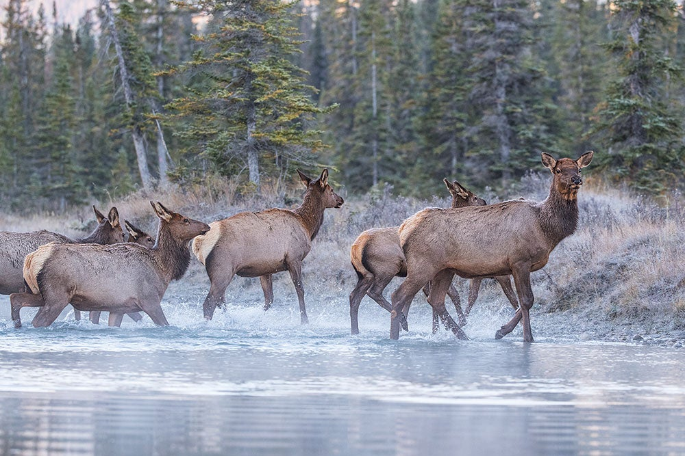 Why a Cow Elk Hunt is One of the Most Underrated Opportunities in the West