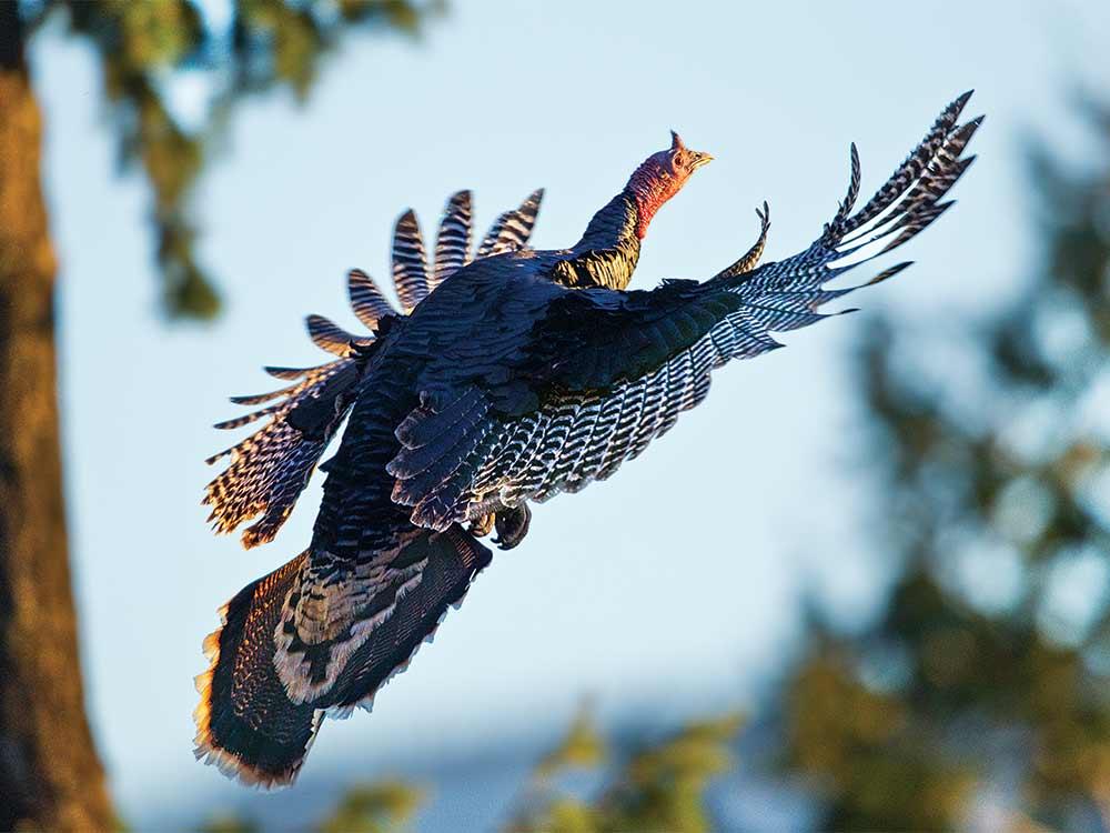 turkey flying in woods