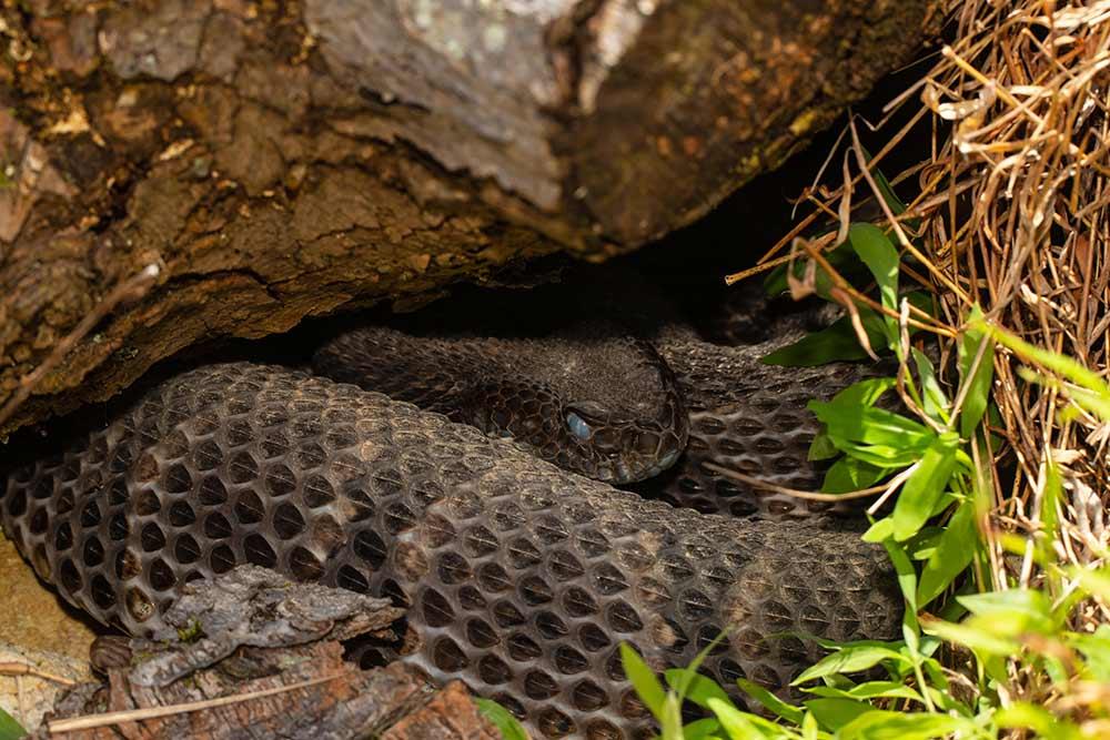 rattlesnake under rocky cover