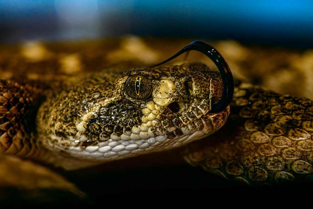 """""""rattlesnake"""