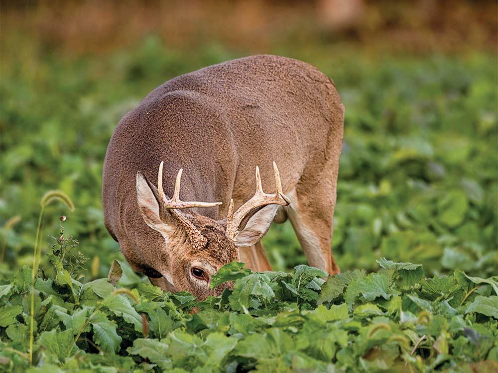 a deer eating in a food plot