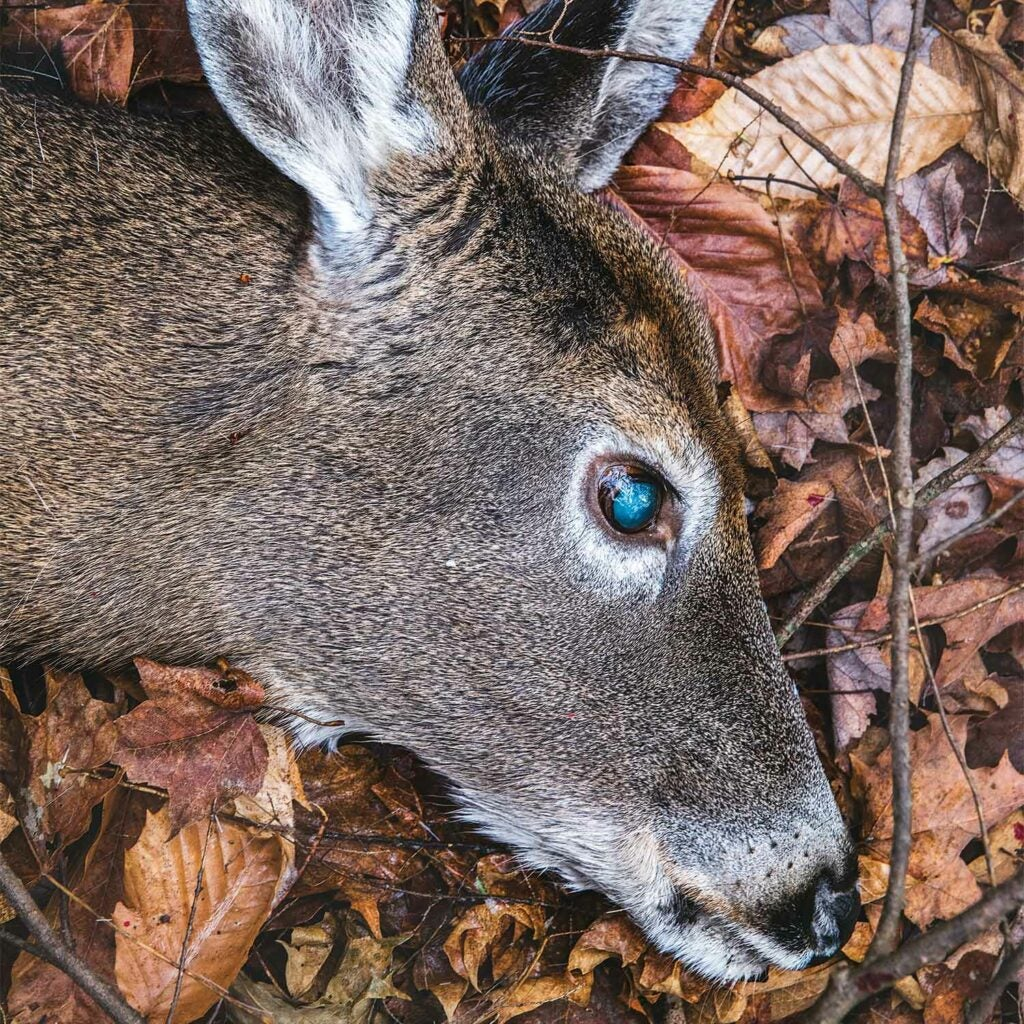 close up image of a doe head in fallen leaves