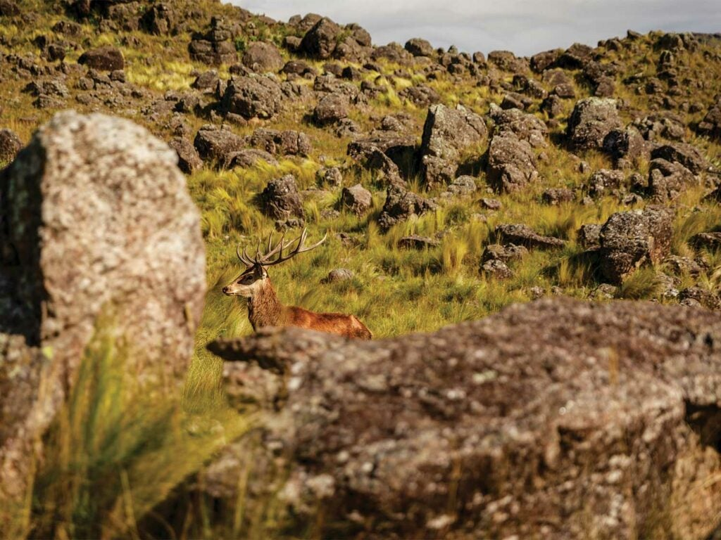 a red stag wandering through a rocky hillside