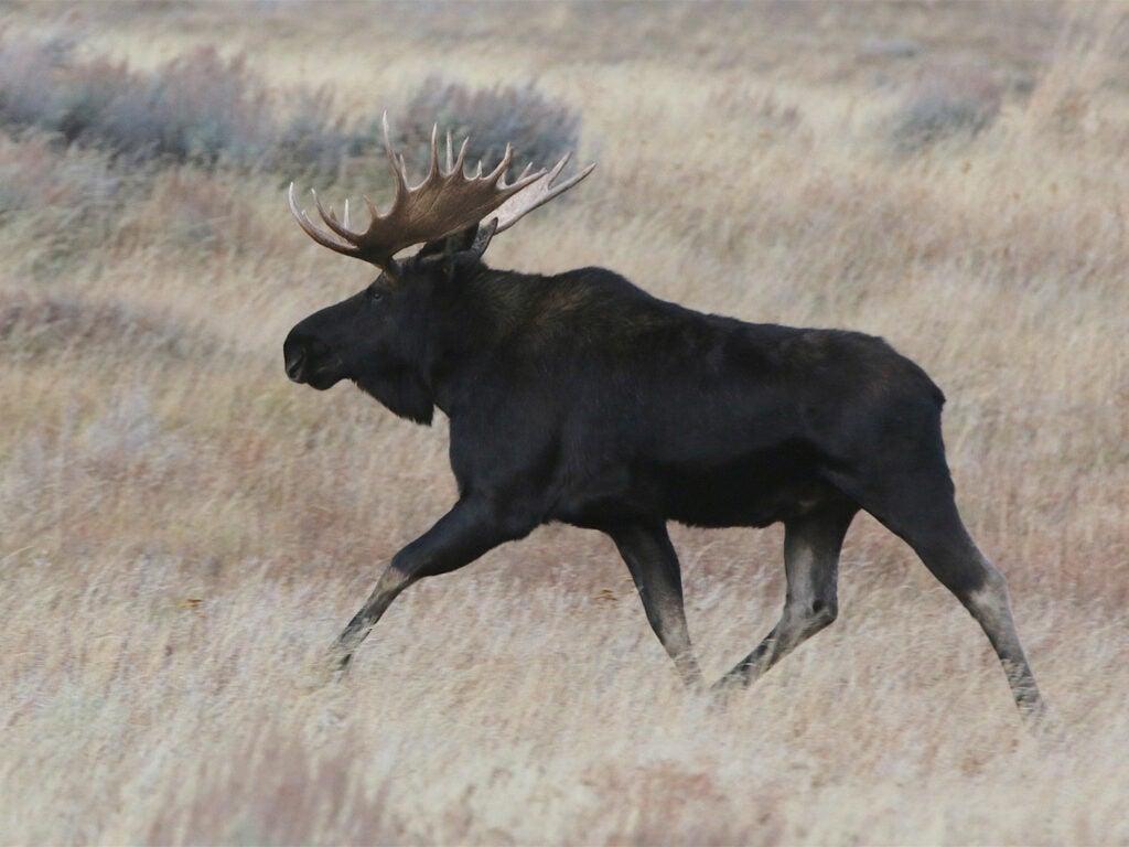 black moose in field