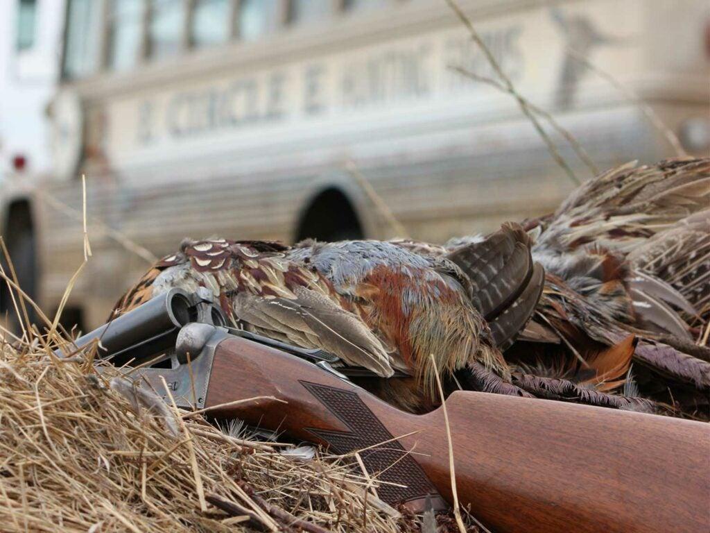 pheasant and shotgun in dry grass