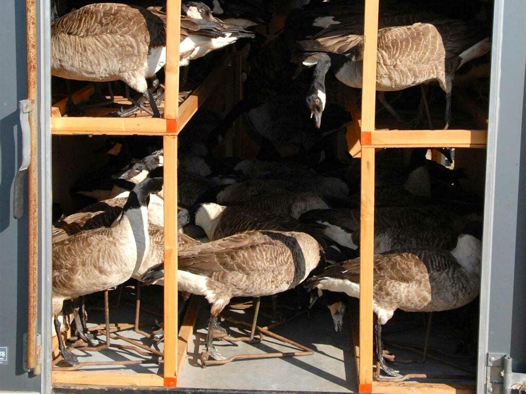 stuffed taxidermy goose decoys