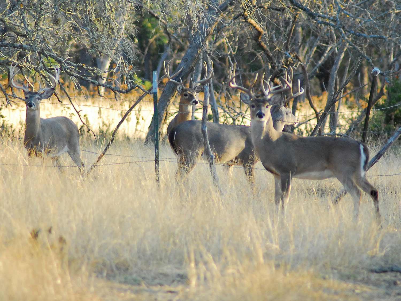 four bucks standing in a field near a wire fence