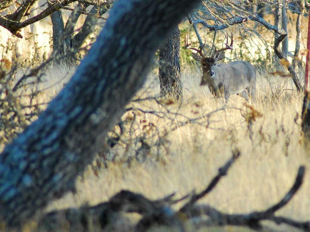 deer talking through the tall grass
