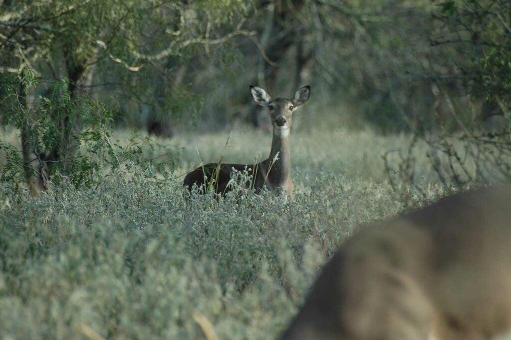 antlerless deer in tall grass