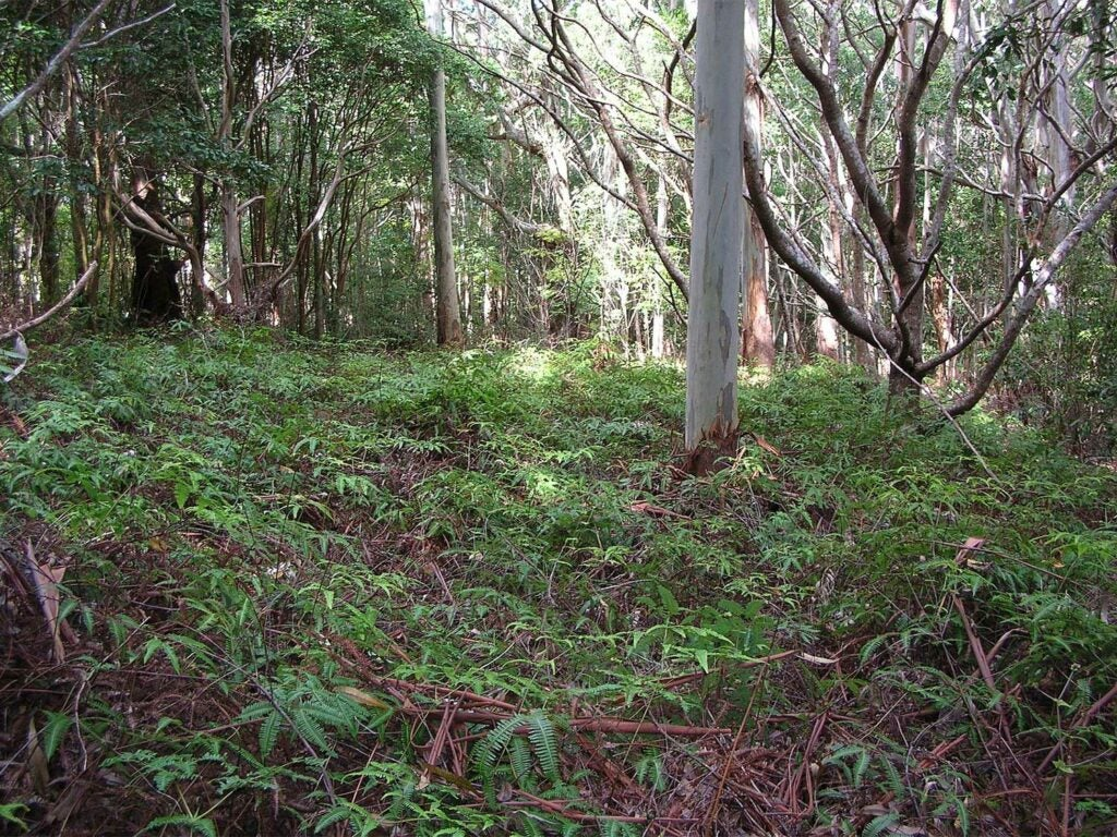 green forest grove in the makawao forest reserve
