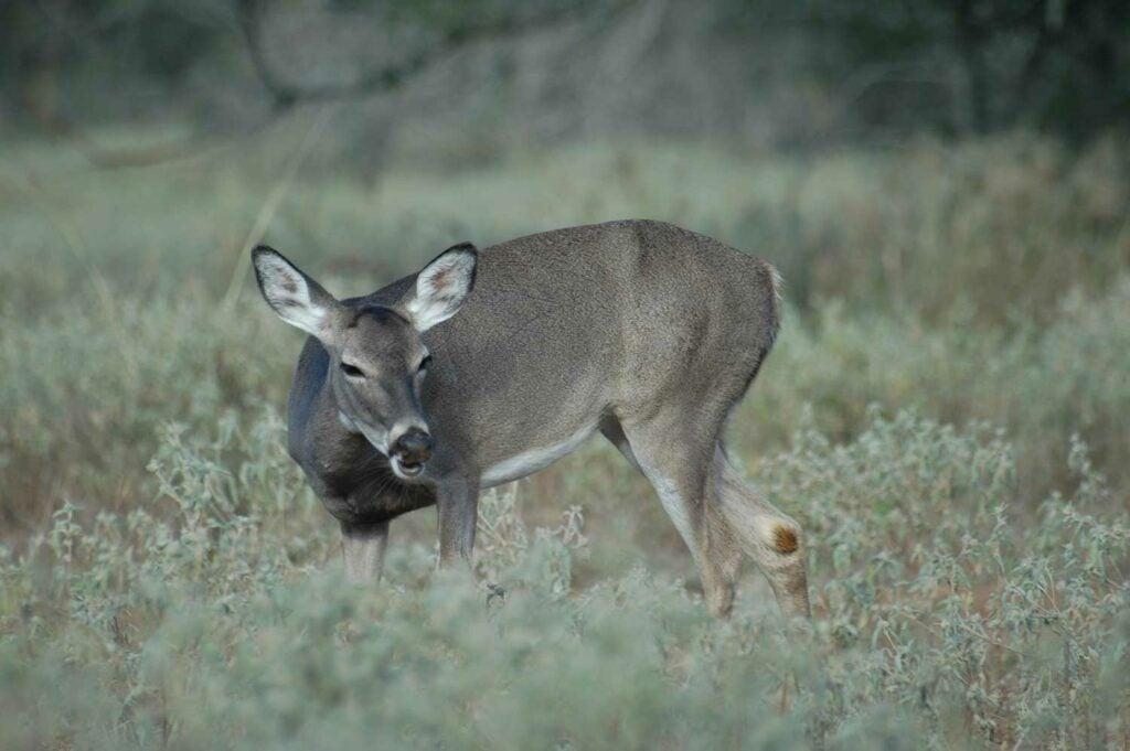sick deer in short grass