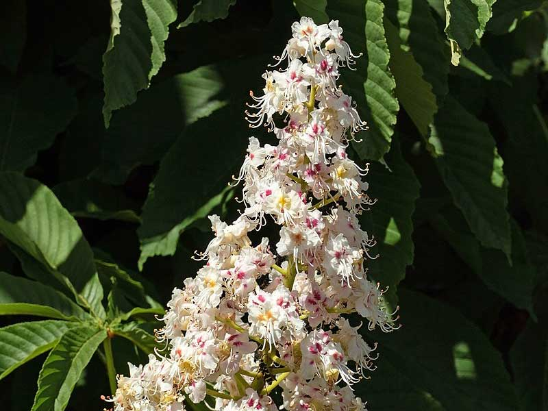 horse chestnut plant