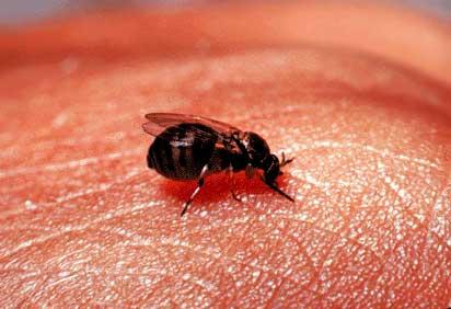 a black fly