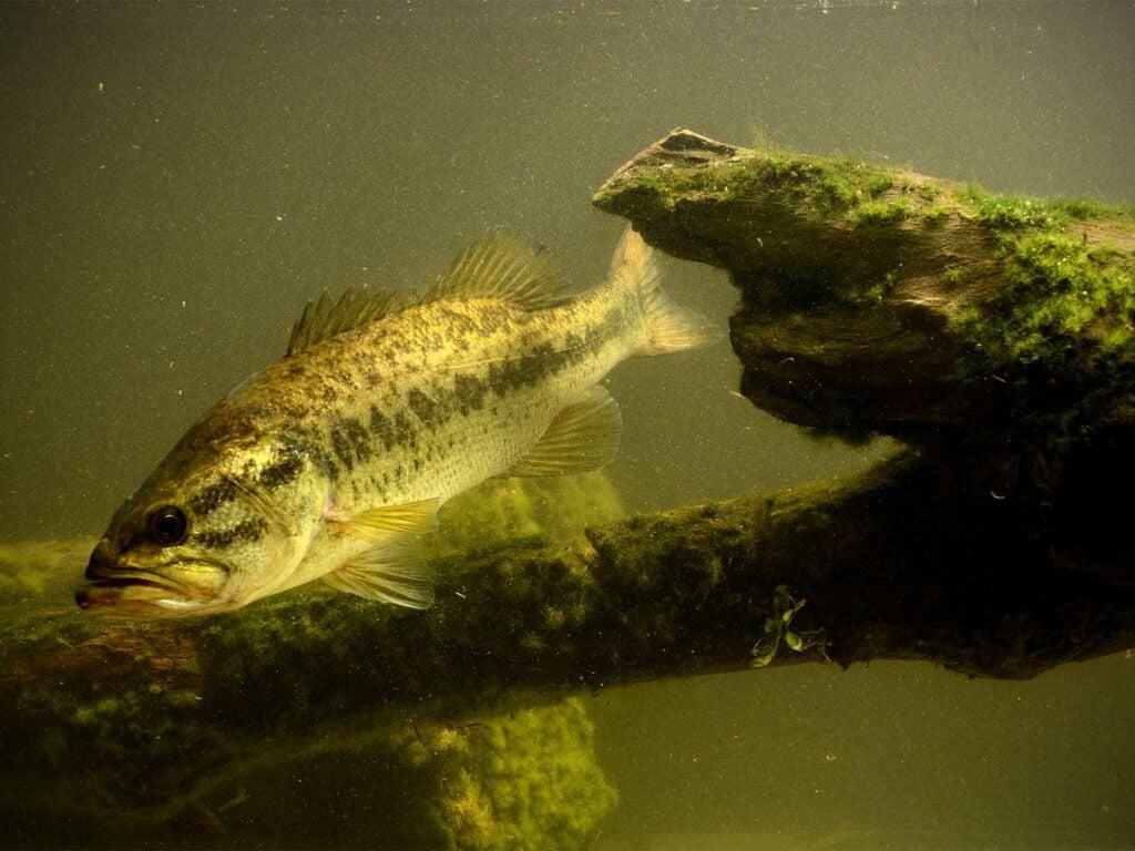 a big bass swimming through murky water