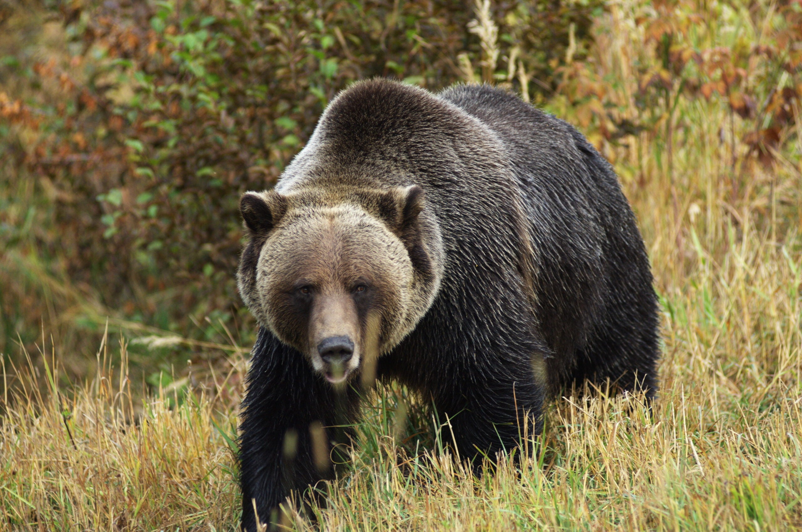 An Expert's Guide on How to Stay Alive in Grizzly Bear Country