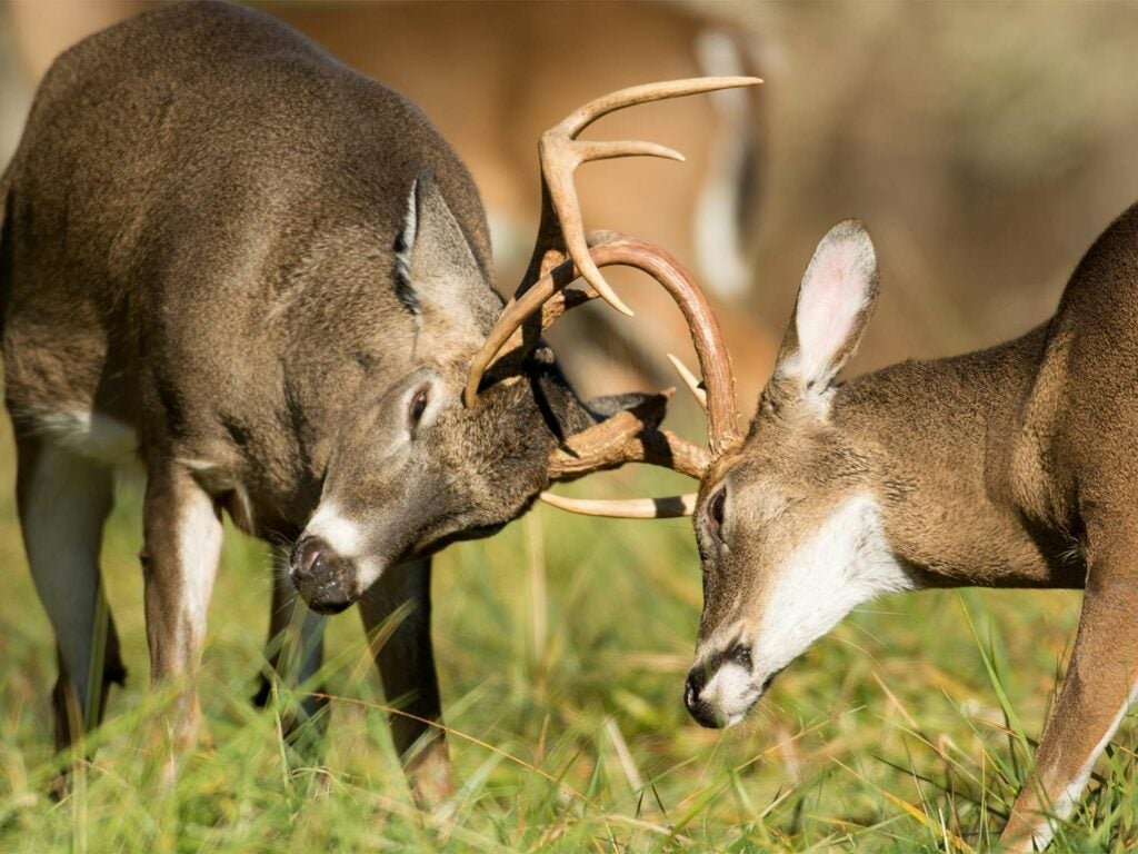 two whitetails sparring with their antlers