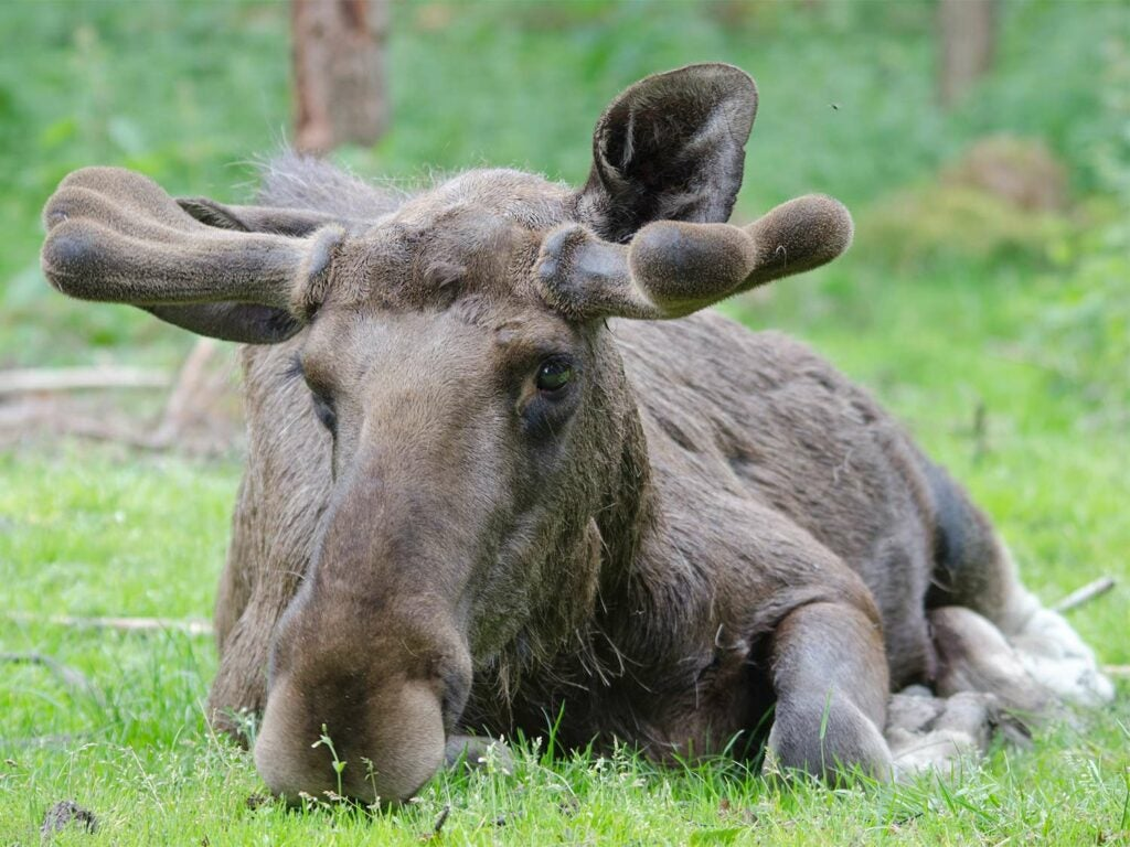 a bull moose with growing antlers