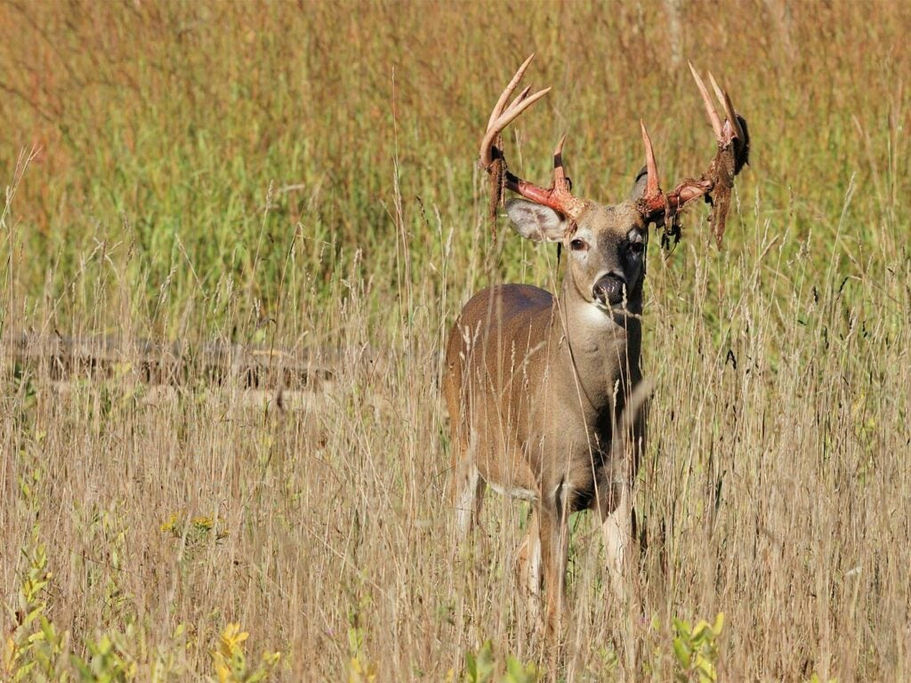 a whitetail buck standing in a field while shedding velvet