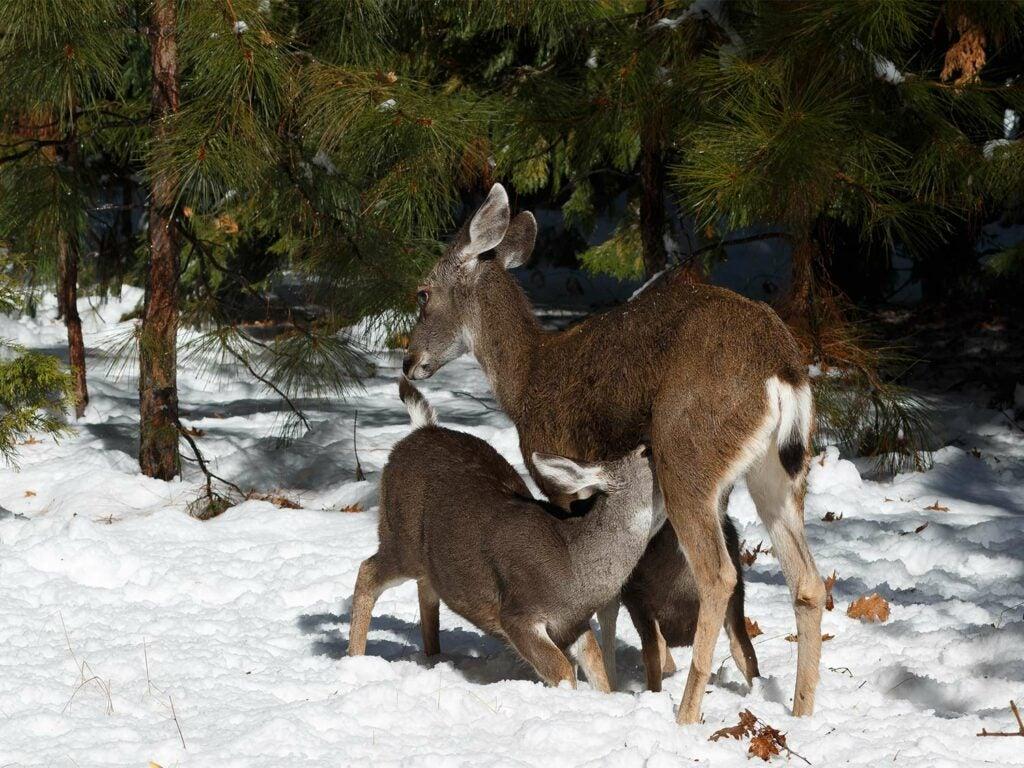 small mule deer fawn nursing