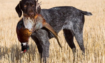 How To Put on a Choke Chain Before Training Your Hunting Dog