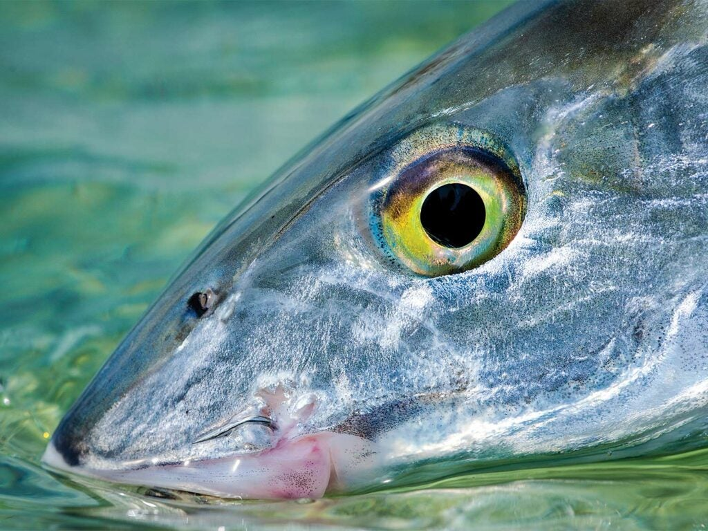 close up detail of a bonefish head and eye