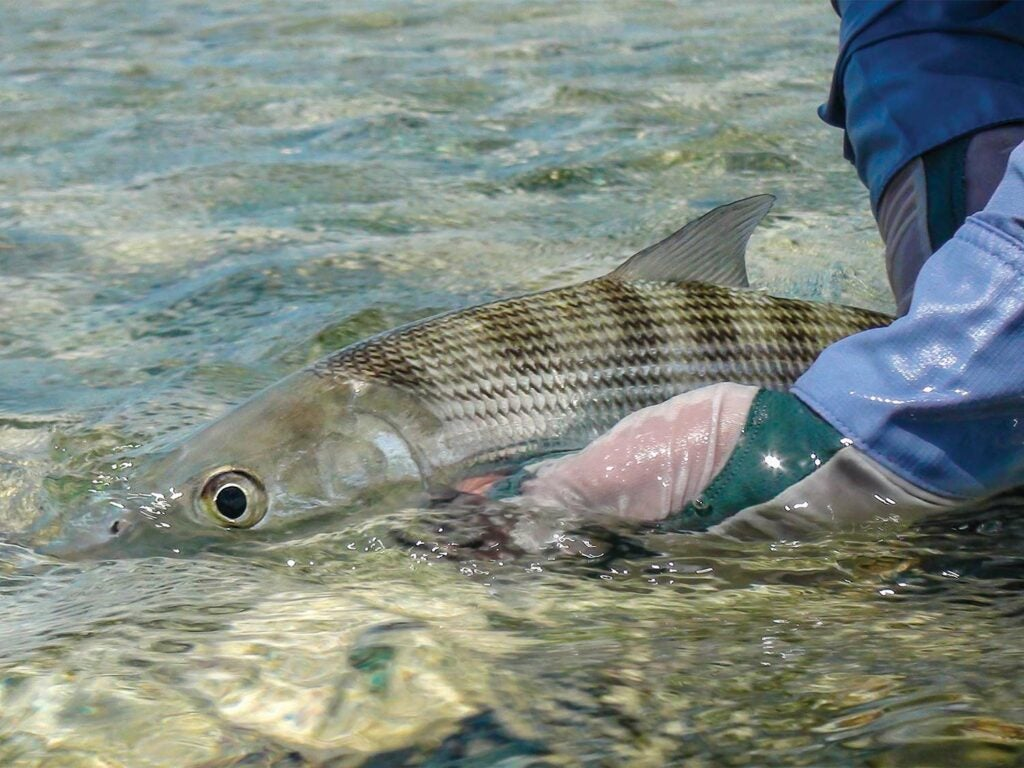 releasing a large bonefish in the Turneffe Flats