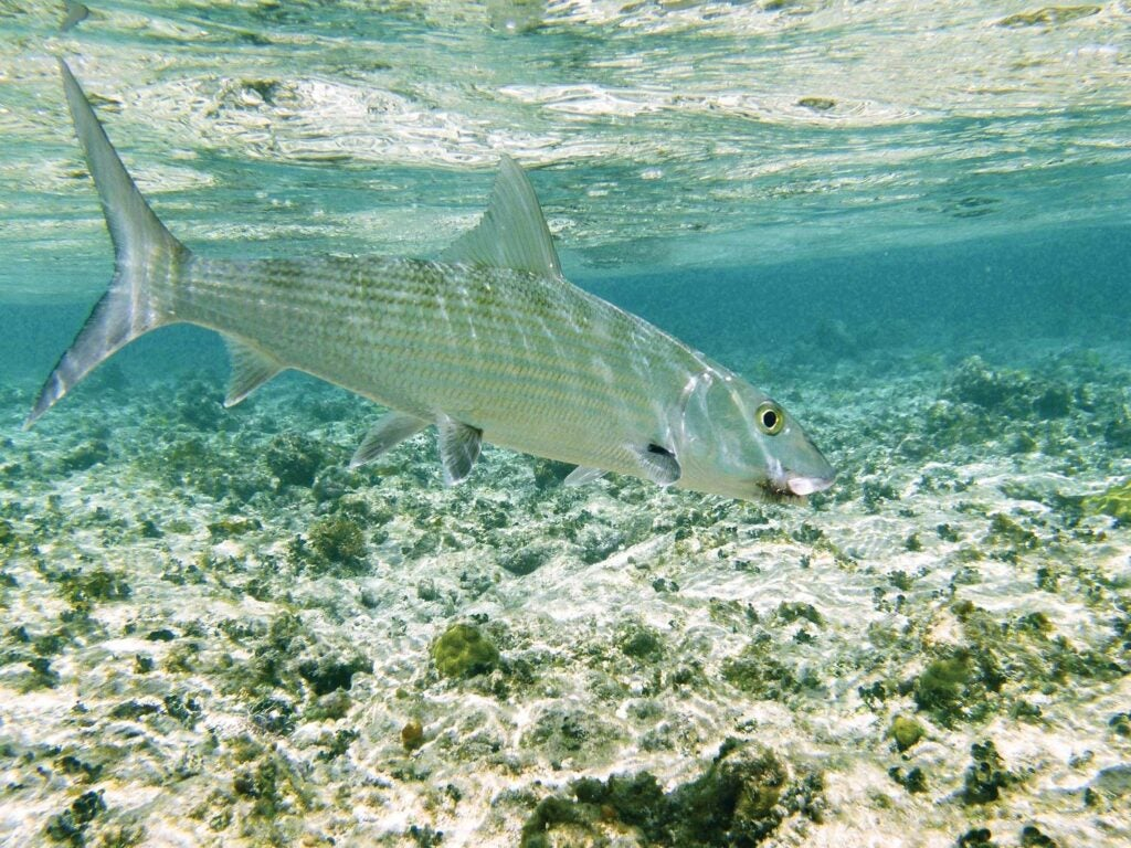 a bonefish swimming in shallow saltwater flats
