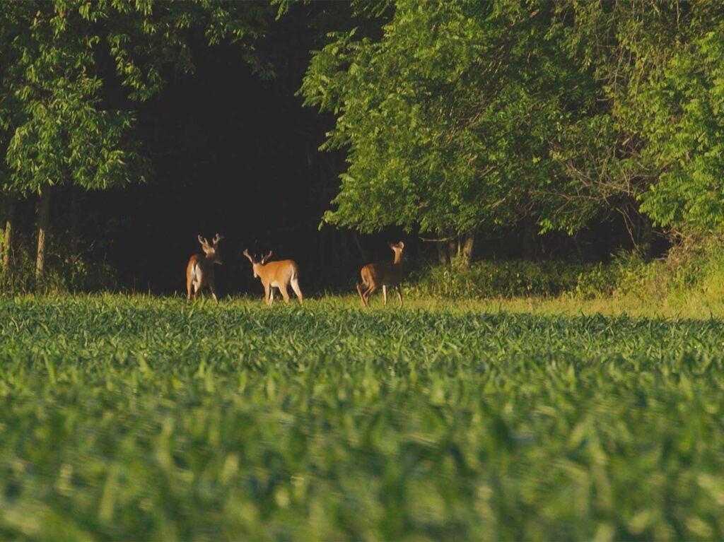 deer standing in a large food plot