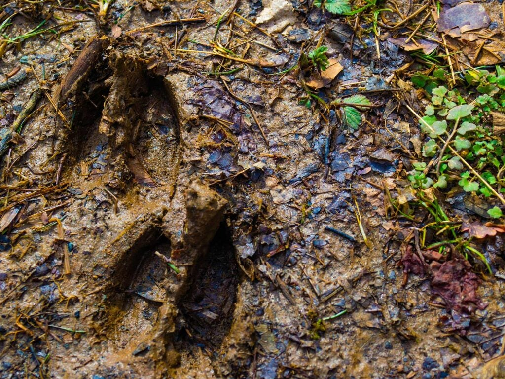 wet dear track in mud