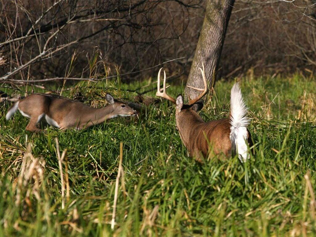 big buck chasing a doe in a field